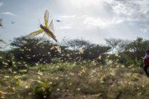 África sufre la plaga de langostas el peor brote registrado en décadas (Video)