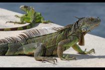 Convención de iguanas: Más de 60 reptiles fueron vistas reunidas en un puente del sur de la Florida