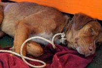 ¡Increíble! Rescataron a un perro que nadó por 220 KM en Tailandia