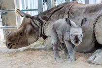 Rinoceronte Indio nació en Miami por medio de ovulación inducida e inseminación