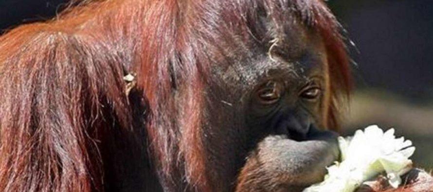 Sandra la orangután que «es una persona» se instala en su nuevo hogar en Florida (+videos)