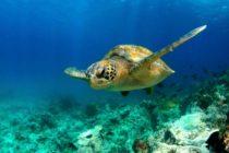 Cambio climático afecta el género de las tortugas marinas en Florida