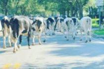 ¡Insólito! Rebaño de vacas interrumpió el tráfico en Miami Lakes