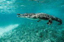 Buzo grabó un amigable encuentro con un cocodrilo en Cuba (video)