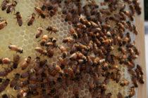 ¡De no creer! Recibió más de 100 picaduras de abeja en Florida para salvar del ataque a su perro