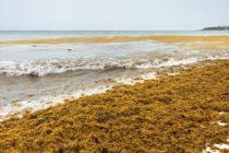 ¡Tome precauciones! Exigen eliminar algas sargazo que invaden Miami Beach