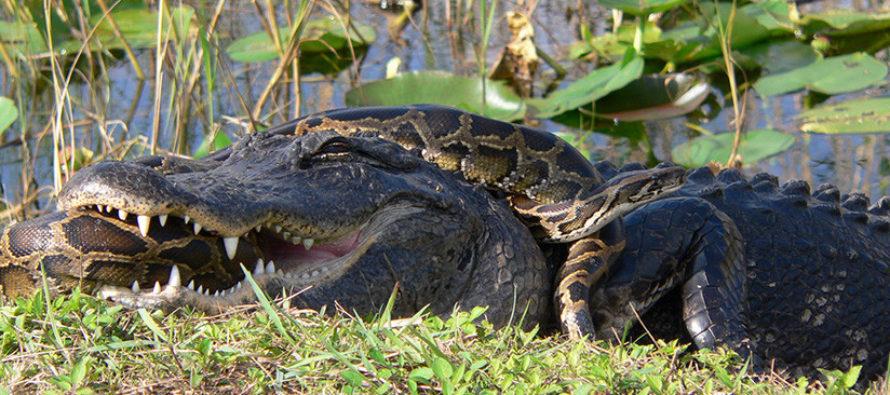 Aligátor devoró a una pitón de tres metros en Florida (Video)