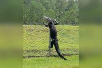 Un caimán fue captado mientras escalaba una reja hacia la Naval Air Station de Jacksonville