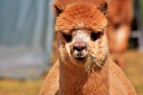 Una mujer le mordió los testículos a un camello en Luisiana para salvar su vida y la de su perro