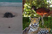 Desde jaguares a cocodrilos: Avistan animales en peligro de extinción en México durante la cuarentena por coronavirus