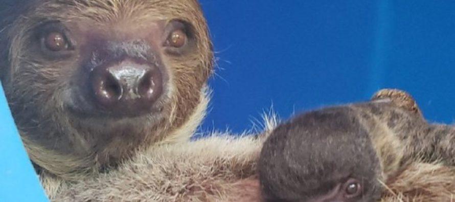 Conoce el tierno primer oso perezoso nacido en el Zoo de Miami (Video)