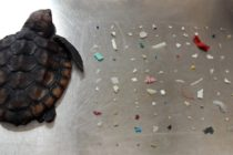 Bebé tortuga muere después de comer más de cien piezas de plástico en costa de Florida