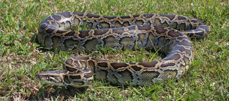 Crean el Python Bowl 2020: En Florida unen esfuerzos para acabar con esta especie invasora