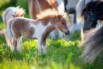 Descubrieron a un caballo miniatura en la cabina de un vuelo (Video)