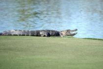 Caimán irrumpió y agarró una bola en pleno torneo de golf en Florida