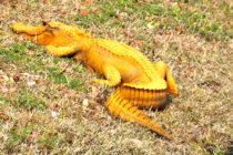 Caimanes anaranjados aparecen en Carolina del Sur
