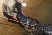 ¡Increíble! Inmenso cocodrilo logra paralizar el tráfico en la Autopista Interestatal de Florida