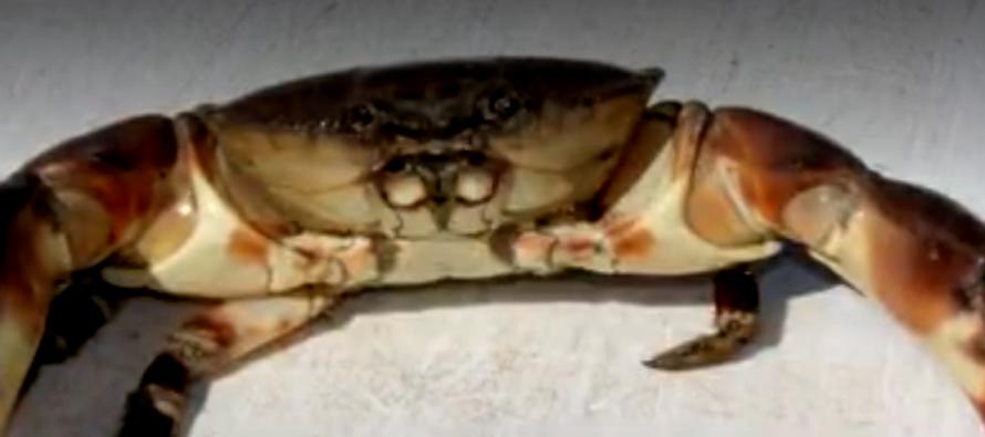 ¡Apúrese! Si es un amante del cangrejo de piedra debe saber que la temporada finaliza el jueves