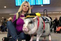 Increíble cerdita ayuda a pasajeros a combatir el estrés en aeropuerto de EEUU
