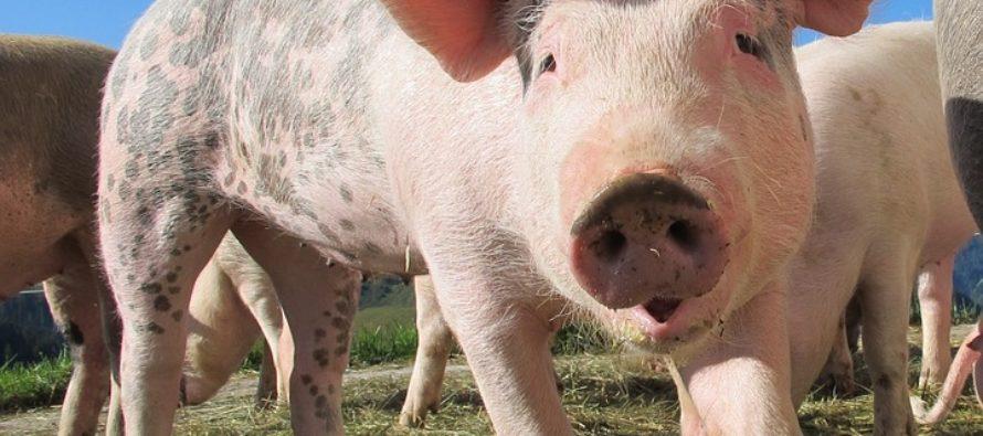 Esta es la razón por la que los cerdos no pueden ver el cielo