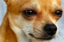 Detenido sujeto que peleaba con su primo y… ¡Le arrojó un Chihuahua!