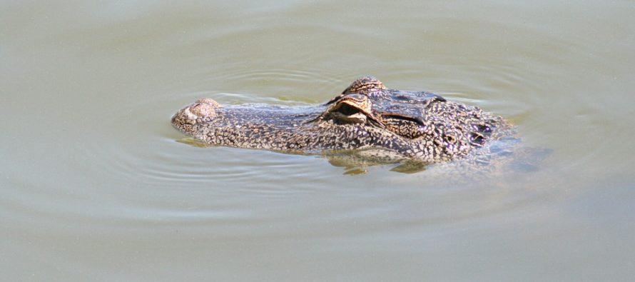10 cocodrilos devoraron a joven de 16 años en un lago de Florida