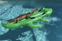 ¡Insólito! Familia encontró a cocodrilo tomando sol en inflable en la piscina en Miami