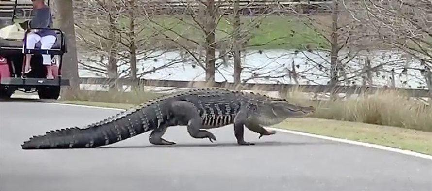 ¡Cuidado ! Caimanes rondan la Florida por temporada de apareamiento