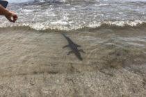 ¡Adorable! Pequeño caimán fue visto en costa de Key Biscayne