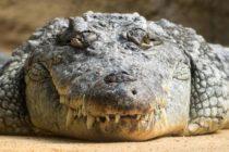 Cocodrilo de tres metros mordió a cazador en Florida