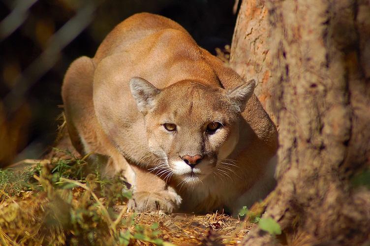 Un senderista vivió seis minutos de puro terror por un puma