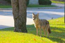 Residentes de Baldwin Park alertas ante la presencia de coyotes
