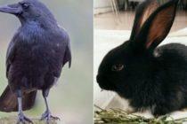 ¿Cuervo o conejo? Nuevo video viral que desconcierta las redes