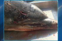 ¡Terrible hallazgo! Delfín empalado en Florida