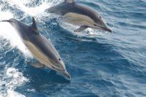 Barco es sorprendido por manada de delfines frente a costas californianas