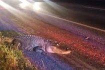 Encuentran cocodrilo decapitado junto a la autopista en Florida