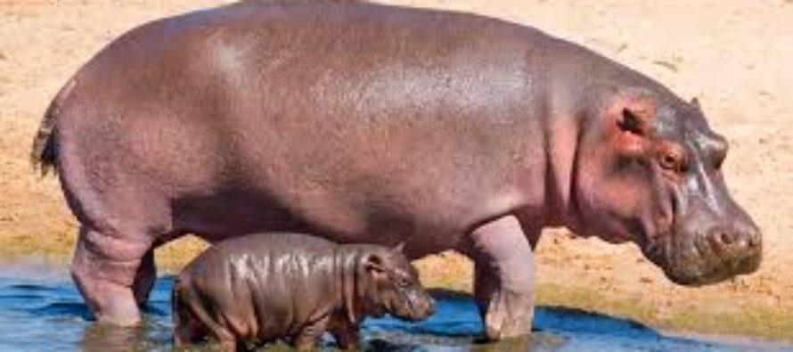 Hipopótamo pigmeo del zoo de Miami fue sometido a exámenes por problemas de salud crónicos