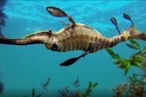 ¡Descubra! Dragones marinos viven en California