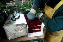 ¡San Valentin! Funcionarios del MIA revisan fletes de flores que llegan a Miami