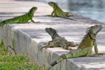 Invasión de iguana preocupa a los propietarios en Florida