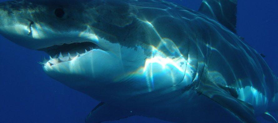 ¡Cuidado! Siguen en aumento los avistamientos de tiburones blancos en las costas de Florida