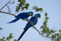 ¡No todo está perdido! Nació guacamayo azul especie declarada extinta hace años