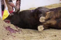 PETA difundió un video que muestra a un matador apuñalando repetidamente a un toro