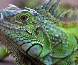 ¡Insólito arresto ! Fue detenido por arrojar una iguana a otro hombre