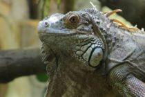 West Palm Beach gastó $1.8 millones en reparaciones de emergencia por iguanas