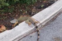 Frente frío traería de vuelta la caída de iguanas a Florida