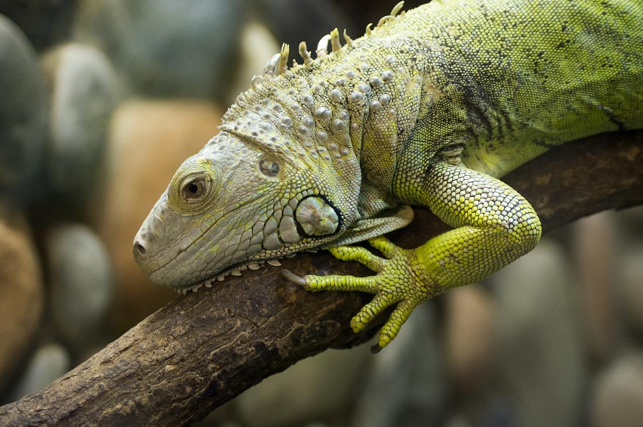 Proyecto de ley prohibiría la posesión y venta de iguanas en Florida - MiamiDiario.com