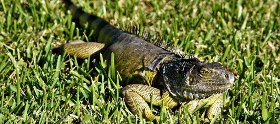 Florida está siendo afectada por las iguanas verdes: conoce cómo son y los daños que genera a la sociedad