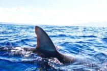 Proyecto de ley que prohíbe la venta de aletas de tiburón se presenta ante la Cámara de Representantes