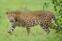 ¿Puedes ver al leopardo escondido?: observa la imagen que publicó un parque nacional ruso